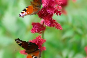 peacocks eye butterfly on pink