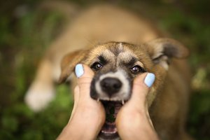 german shepherd puppy dog bite human