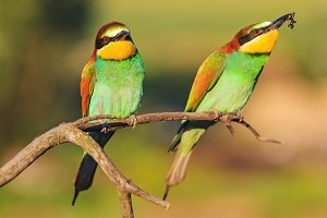 pair of bee-eater sitting on a