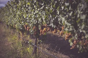 More Wine Grapes