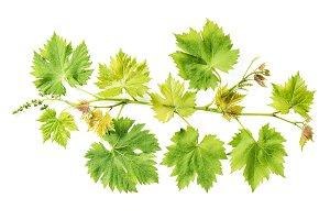 Fresh green leaves border Grape vine