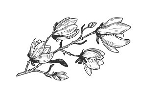 Magnolia branch engraving vector