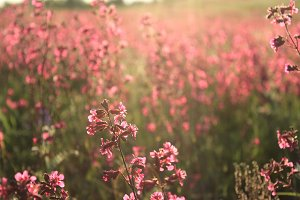 Pink wildflowers field