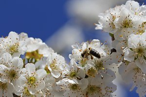Bee and cherry flower