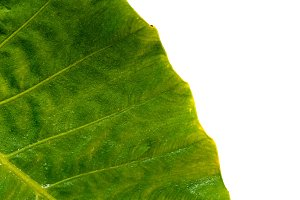 Tropical green leaf background on
