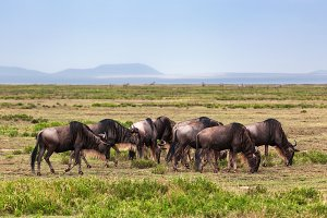 Wildebeests herd, Africa