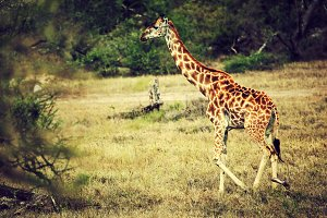 Giraffe on African savanna, Tanzania