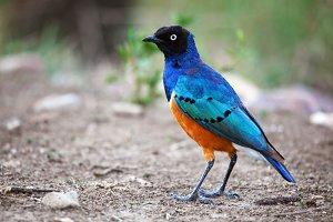 Superb Starling bird in Serengeti