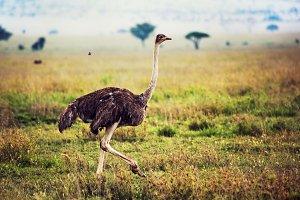 Ostrich on savanna in Africa