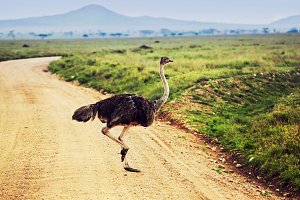 Ostrich on savanna in Africa