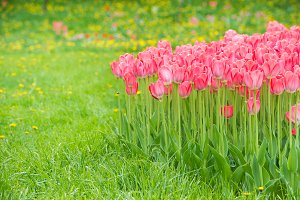 Pink tulips in the park