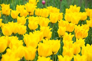 Yellow tulips in the park