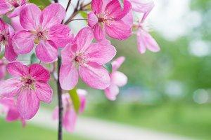 Blossom of pink sakura flowers