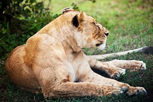 Female lion lying on grass, Africa