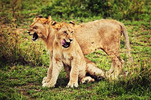 Small lions on african savanna
