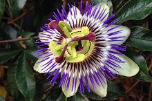 Zoomed In Passion Flower