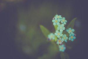 Unique blue forget-me-not flowers cl