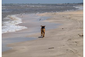 Dog on the beach. The dog runs along