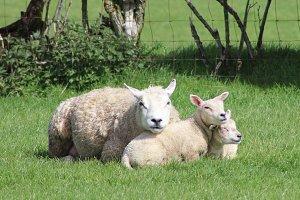 Cute Sheep and Lambs