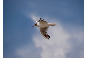Sea gull flying in the sky. Seagull