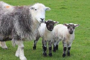 Herdwick Sheep and Lambs