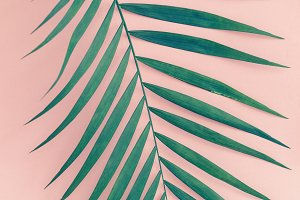 Palm leaf over pink background