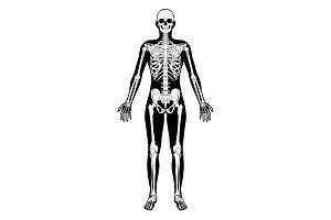 Human Skeleton Figure Medical