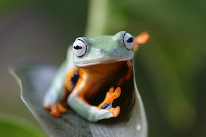 flying frog, flying frog in leaves