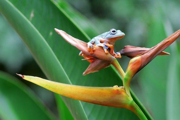 Animal Stock Photos: roni kurniawan - flying frogs, flying frogs on twigs