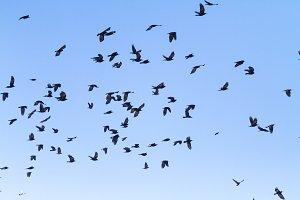 flock of black birds flying through