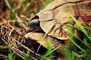 Wild Leopard tortoise close up