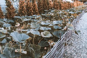 Long seedbed with unripe gourds