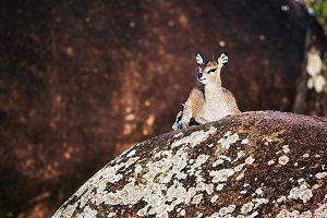 Klipspringer lying on the rocks