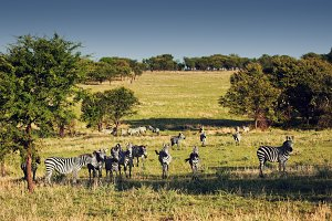 Zebras herd on savanna, Africa