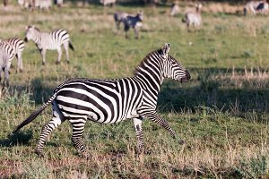 Zebra on savanna, Africa