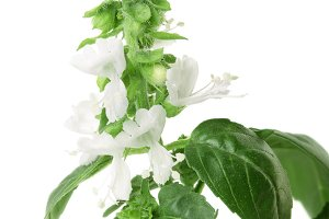 blooming sprig of basil isolated on
