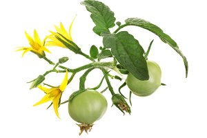 yellow flower with green tomato