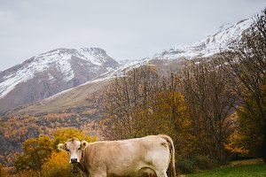 Cows on mountain