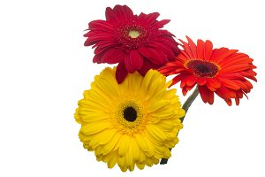 Flowers gerbera multi-colored isolat