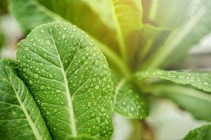 Fresh Leaf of Green Cos