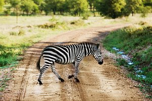 Zebra crossing the road, Africa