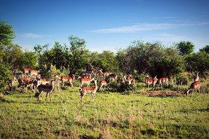 Impala's herd on African savanna