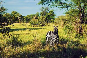 Zebra in grass on savanna, Africa