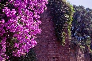 Purple bougainvillea plant tree