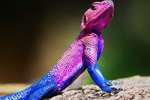 Mwanza Flat-headed Agama on rock