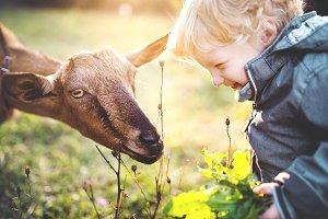 A little toddler boy feeding a goat