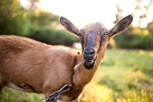A close-up of a goat outdoors on a