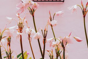 lily on white wall background. plant