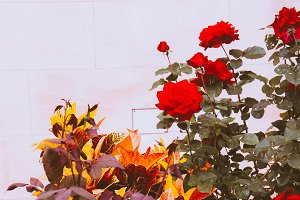 Roses on white wall background. Gard