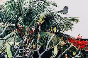 Tropical Canary plant. Palm green fa